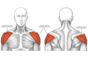 Укрепление дельтовидной мышцы